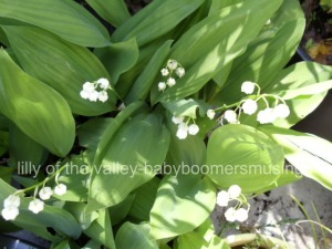 lilly of the valley-my garden